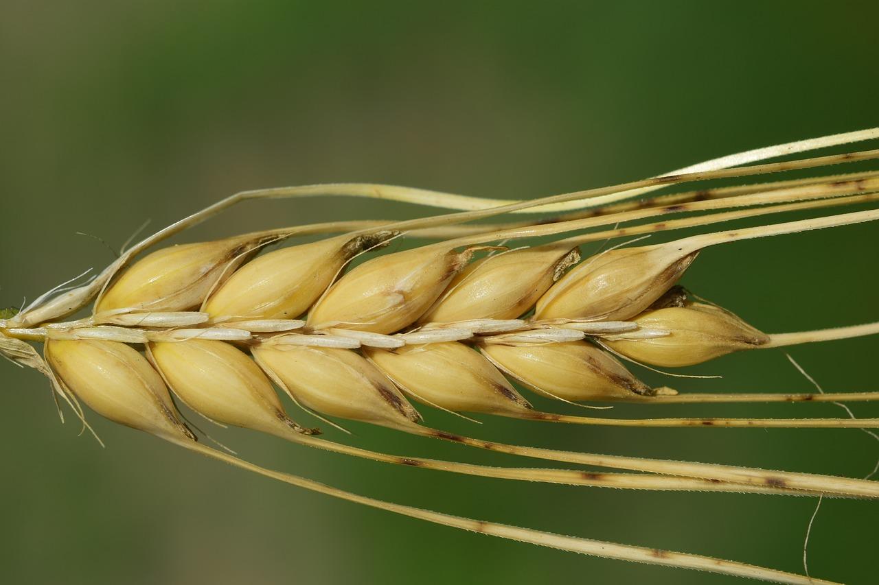 Cebada Barley